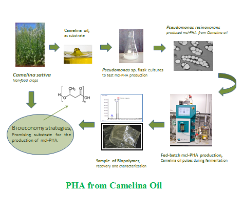 Camelina Oil as a Promising Substrate for mcl-PHA Production